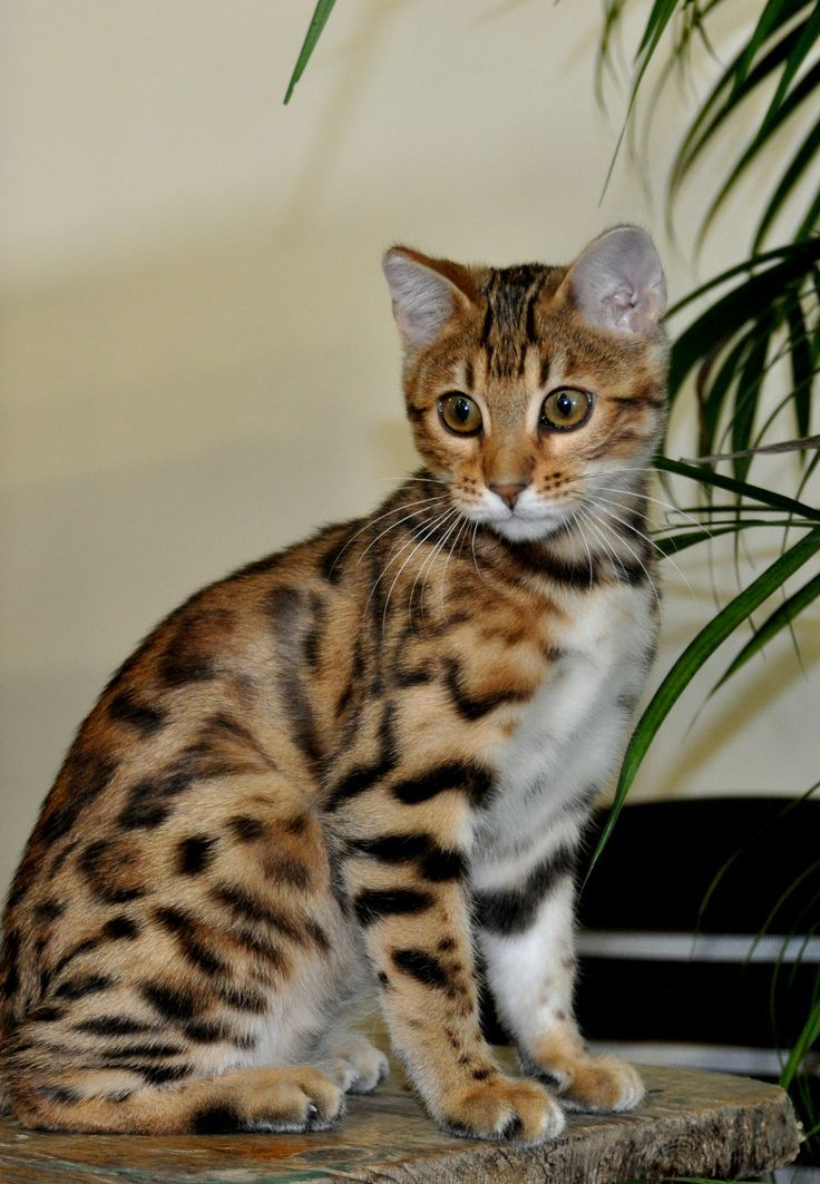 Ears and whited tummy to die for!! Brown/Black spotted tabby bengal cat.