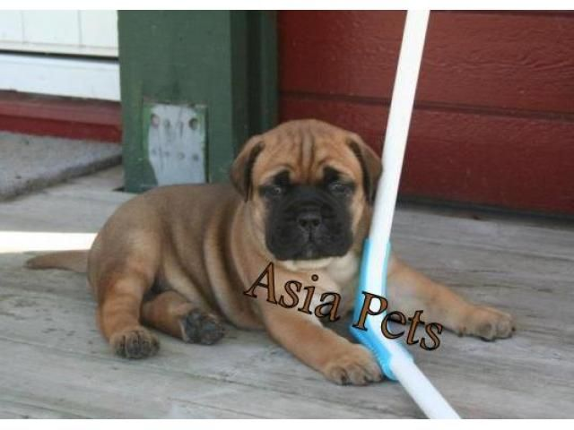 Bullmastiff Puppies Price In Chennai Bullmastiff Puppies For Sale