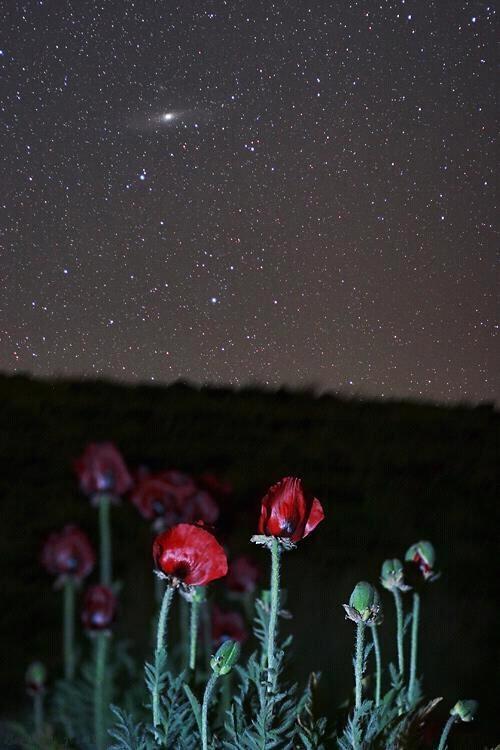 """""""Las estrellas de la Tierra"""" Amapolas silvestres y la galaxia de Andrómeda, tomada en Irán.   Foto: B. Tafreshi."""