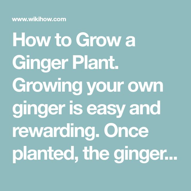 how to grow ginger root in a pot