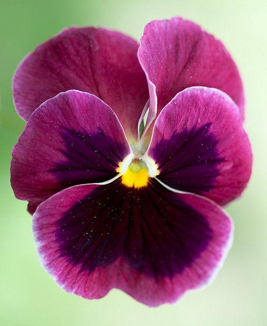 Pensamiento - Viola wittrockiana