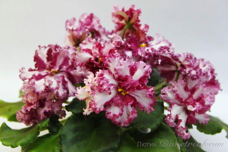 African Violet Saintpaulia '' LE Vzbitye Slivki '' Young Plant   eBay