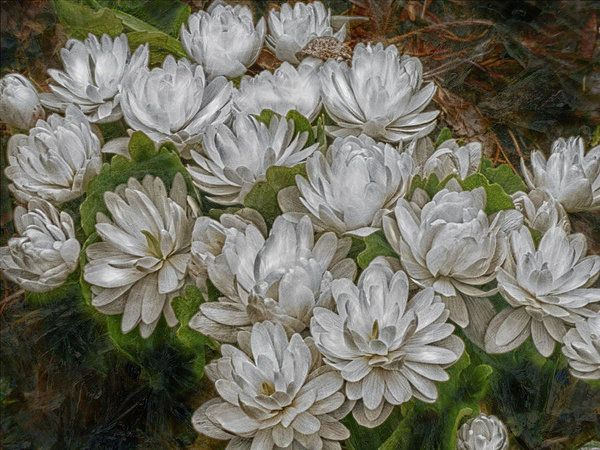 Double Bloodroot Art Print by Leslie Montgomery.