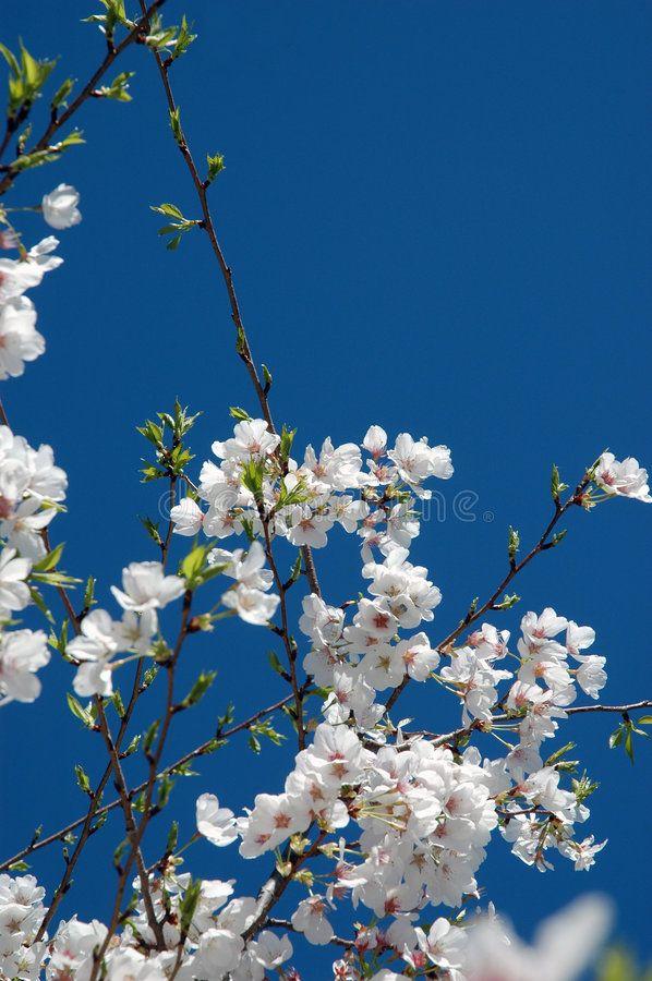 Cherry Blossoms Cherry Tree Blossoms And Sky Ad Blossoms Cherry Tree Sky Blossoms Ad Cherry Blossom Photo Blossom