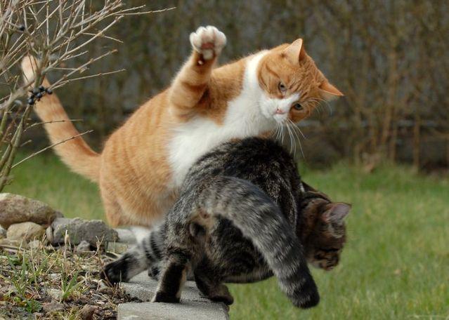 gatos-brigando.jpg (639×456)