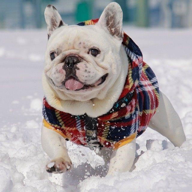 French Bulldog In The Snow Buldog French Bulldog Bulldog
