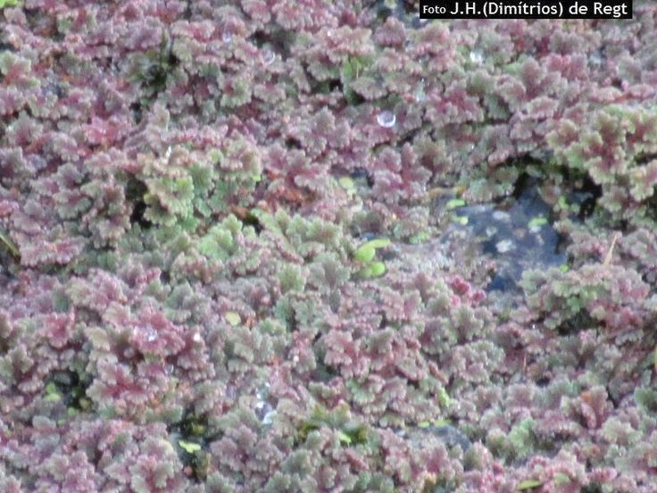 Grote kroosvaren - Azolla filiculoides