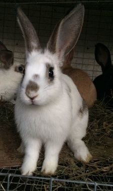 Kai - Flemish Giant / Californian / mystery mix cross breed bunny