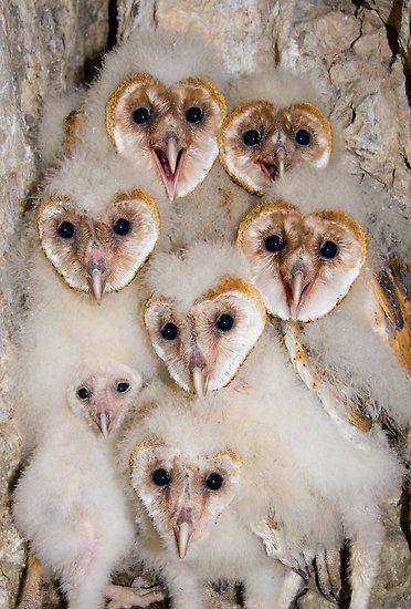 A very fluffy group of Barn Owlets  by Kent Keller