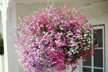 Hanging Flower Baskets | Hanging flower baskets add beauty and glamor to the patio or terrace ...