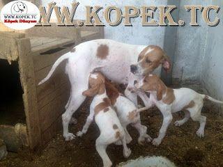 Köpek Dünyası 05323438041: Av Köpekleri 0532 343 8041