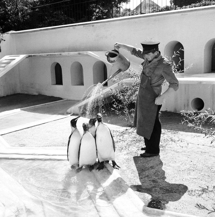 Always remember to water your penguins! | Photo from Copenhagen Zoo in 1955