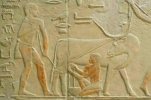 Ancient Egyptian man milking an Ankole-watusi cow ' ANCIENT