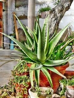 Was ist Aloe Vera? Erfahren Sie hier, was Aloe Vera ist und wie die Heilpflanze für die Gesundheit, Schönheit, etc. eingesetzt wird ...