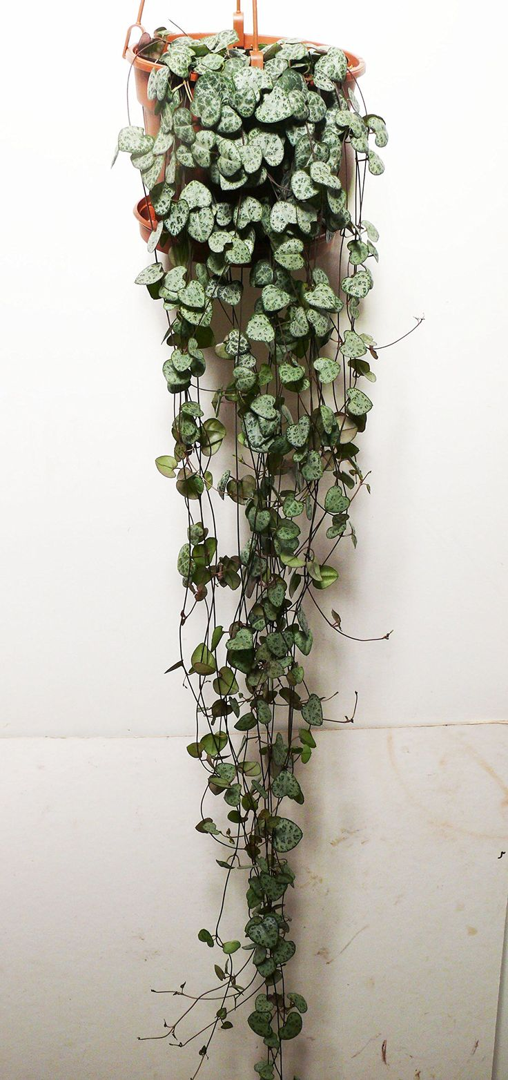 Large CEROPEGIA WOODII - String of Hearts, 16cm hanging pot. 80cm -100cm Vine: Amazon.co.uk: Garden & Outdoors