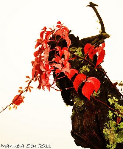 foglie rosse