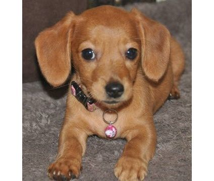 Chihuahua/weiner Dog Mix Weiner dog, Chiweenie puppies
