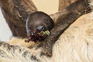 Vienna, Austria: A baby sloth eats some salad.  Photograph: Daniel Zupanc/AFP/Getty Images
