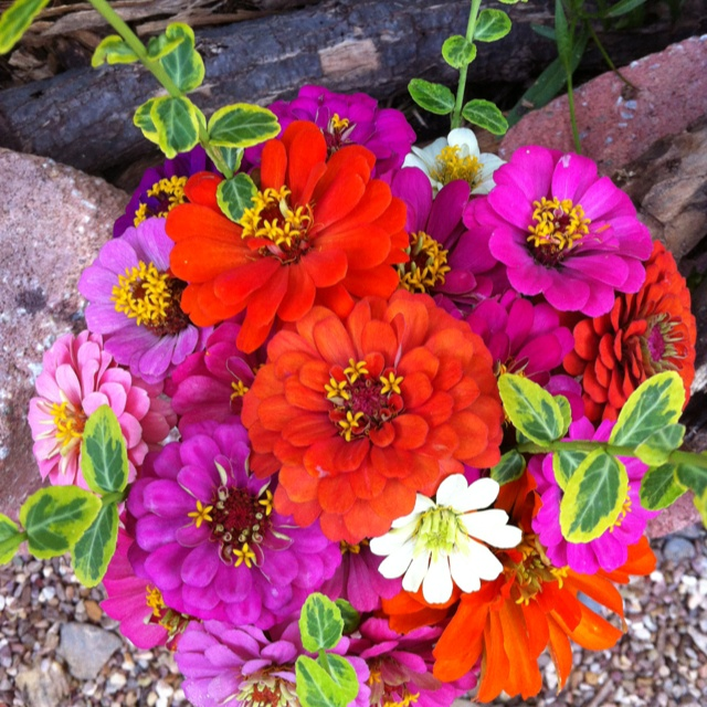 Zinnias ~ bouquets and in the garden...love them both... such vibrant, extraordinary colors... remind me of a float in a parade - how they draw attention to themselves in their own cheerful way.