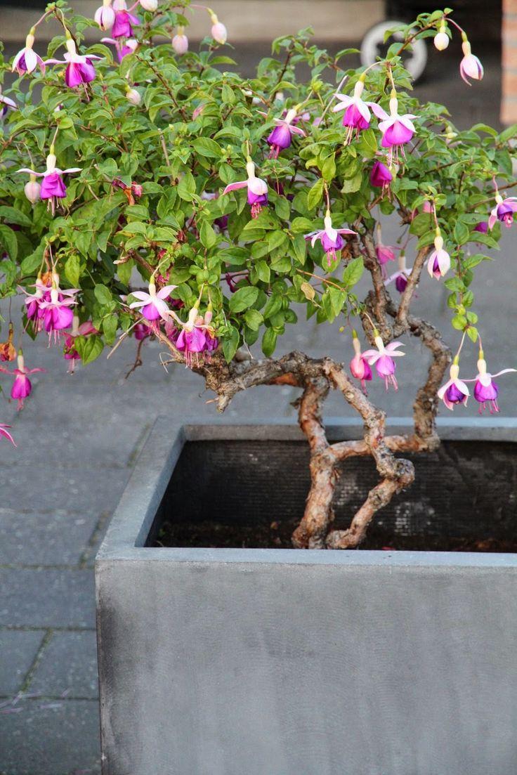 ARVEGODS PÅ TERRASSEN - Flower-container with Fuchsia