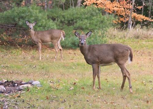 Deer, Seguin Township, Autumn 2011