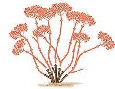 Schneeball-Hortensie schneiden: Stutzen im Spätherbst oder Frühjahr aller Triebe, die in der vergangenen Saison entstanden sind, auf kurze Stummel mit je einem Augenpaar. In der kommenden Saison treiben die verbliebenen Augen kräftig aus und es entstehen lange neue Triebe mit großen endständigen Blüten.