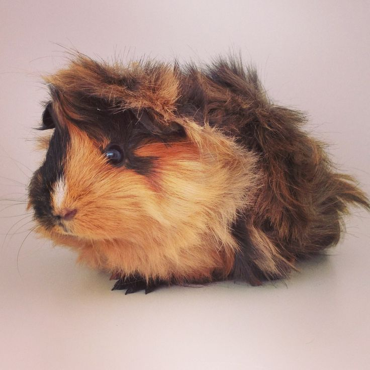 Roxy the Peruvian guinea pig