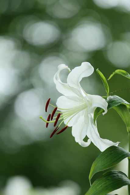 ♀ Bokeh photography flowers white lily Casa Blanca カサブランカ