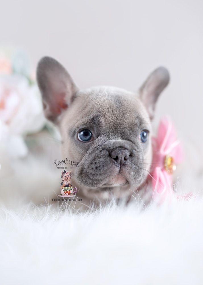 Blue Fawn Frenchie French Bulldog Breeder Florida 227 D French