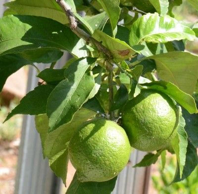 Lime Tree Grafting: Budding Lime Trees To Propagate -  Lime trees cannot be propagated from cuttings but are propagated from bud grafting. Grafting a lime tree is easy to do, once you know how. Get the steps for bud grafting a lime tree in this article.