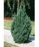 136 Best Images About Juniperus On Pinterest Sun Shrubs