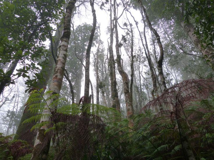 Selva Valdiviana // Palmerillas y canelos.