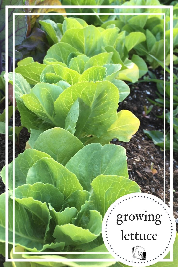 Growing Lettuce Plants For Fresh Garden Salads With Images