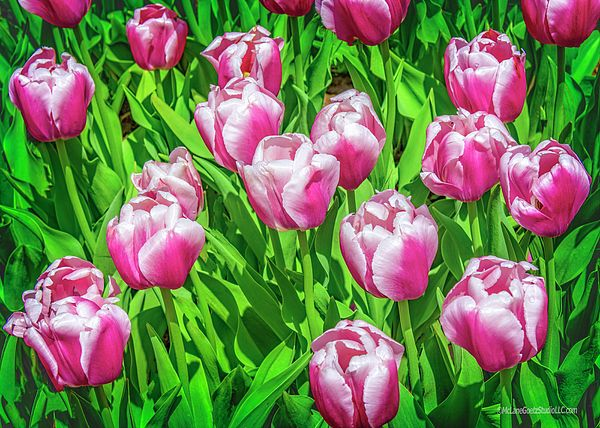 Tulips On Green By Leeann Mclanegoetz Mclanegoetzstudiollccom Nature Photography Spring Tulips Tulips