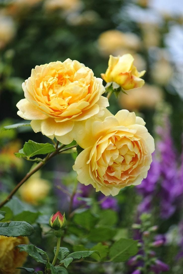 golden celebration ausgold rose envy pinterest. Black Bedroom Furniture Sets. Home Design Ideas