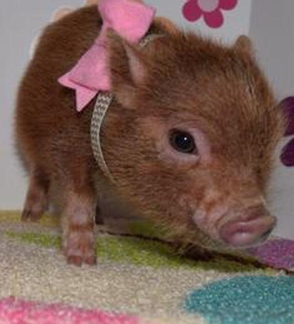 Image423 Cute Piglets Mini Pigs Cute Pigs