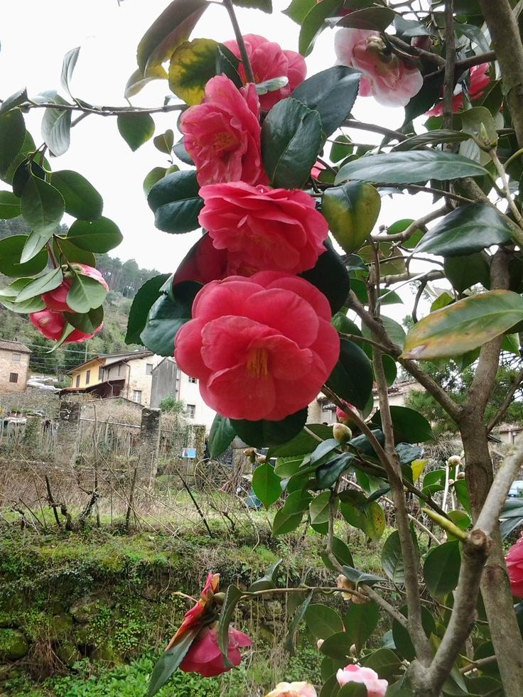more camellias!