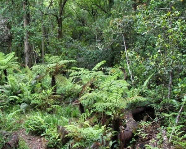 The starting point for these stunning trails is Diepwalle Forest Station, situated 25 km north of Knysna along the Uniondale road. There are 3 trails and each trail is colour coded for easy identification. Along with 30 m high yellowwoods, other trees to spot are stinkwood, ironwood, white pear, and Cape holly. Birds to look out for are the Narina trogon, red-billed wood hoopoe, olive woodpecker, black-headed oriole and the Knysna turaco (loerie). Vervet monkeys can often be seen clambering…