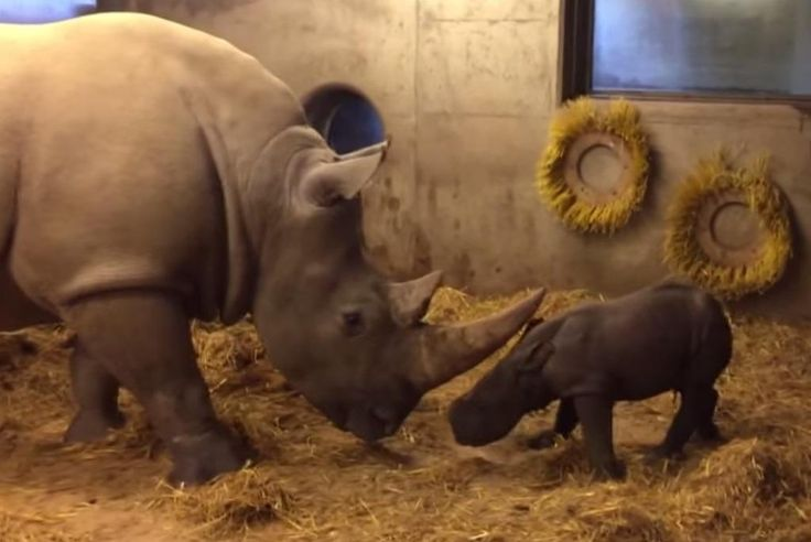 Rare rhino birth at Copenhagen Zoo - News - The Copenhagen Post