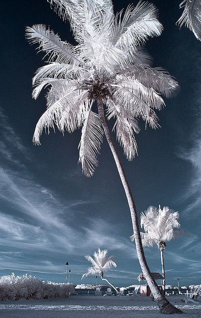Winter palm glorious trees pinterest