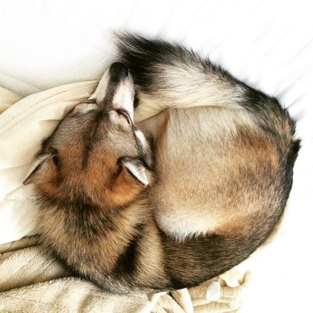Introducing the New FireFox Logo for 2015  -Kobi Alaskan Klee Kai