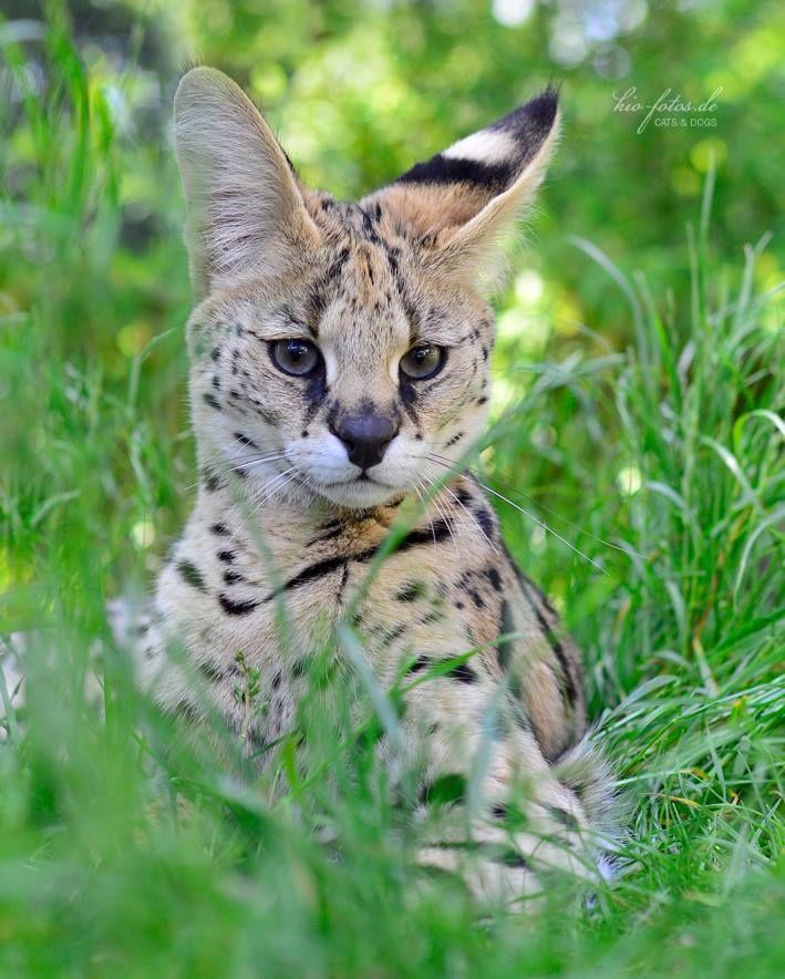.Serval