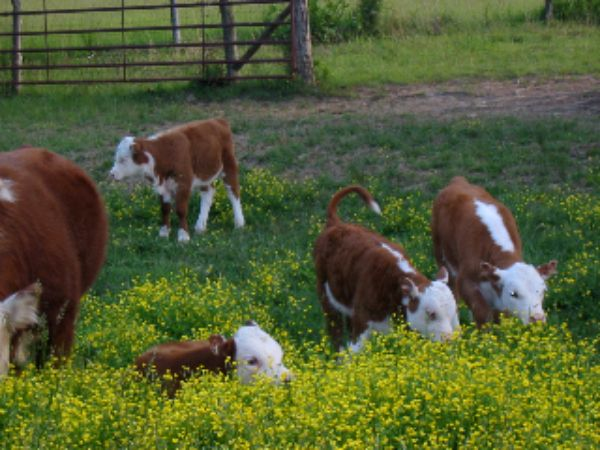 Another specialty of Forrest Green Farm is our registered Polled Miniature Herefords cattle.