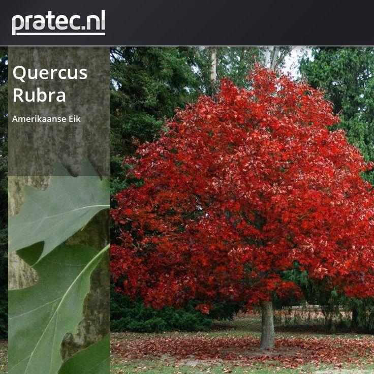 Quercus Rubra - Amerikaanse Eik http://pratec.nl/product-categorie/bomen/?orderby=price&filtering=1&filter_latijnse-naam=89 De Amerikaanse eik , Quercus Rubra is een snelgroeiende boom uit de napjesdragers familie.  Rubra betekent rood vanwege de herfstkleuren, de bladeren kleuren dofrood of roodbruin van de Amerikaanse Eik. De Amerikaanse eik heeft donkere, roodbruine, eivormige eikels met een scherpe punt.  Ze zitten in ondiepe napjes en zijn voorzien van dunne schubben die aan de randen.