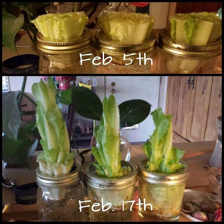22 Foods You Can Regrow Again And Again From Kitchen: Best 25+ Regrow Romaine Lettuce Ideas On Pinterest