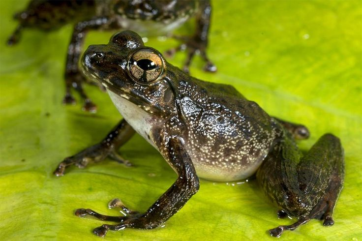 The asteroid that caused a mass extinction event 66 million years ago also opened up plenty of ecological niches for frogs to hop into.  Two Petropedates cameronensis frogs, from Cameroon.