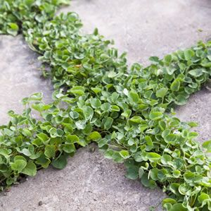 An attractive and useful ground cover or lawn substitute, which will grow readily in most climates. It provides a vigorous ghugging, tight cover. Preferred aspect is full sun to 80% shade. Attractive between pavers.