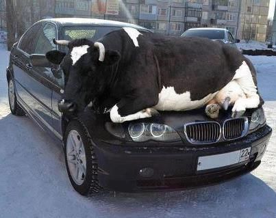 E46 BMW 3 Series Cow Edition :-)                                     - Omg how in the hell did he get up                                     there without sliding off is what I                                     want to know