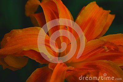Picture of a beautiful orange flower
