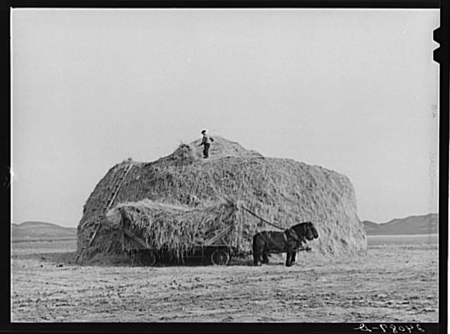 Loading hay on the Dangberg ranch, Carson Valley, Nevada, March 1940.